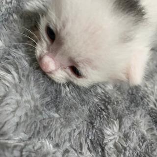 生後半月の子猫の里親さん募集中
