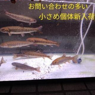 【 追加!5月初旬まで】渓流魚イワナ
