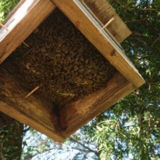 日本蜜蜂・委託