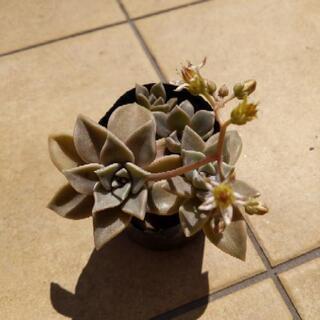[多肉植物]グラパラリーフ 挿し木 観葉植物 ミニ鉢ごと