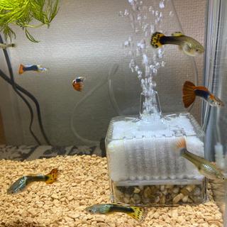 MIXグッピー 稚魚10匹