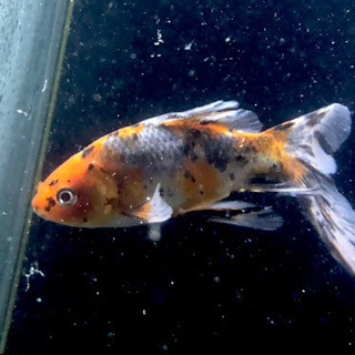 金魚(朱文金×2)あげます