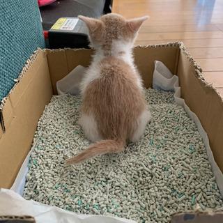 応募一時停止します、フフちゃん 一歳 去勢済み - 猫