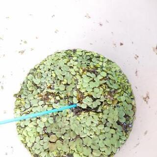 【あげます】水草、赤タニシ!の画像