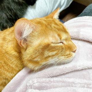 人間が大好きな仲良し猫です(2匹一緒に家族になってください) - 里親募集