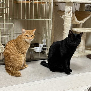 人間が大好きな仲良し猫です(2匹一緒に家族になってください)の画像