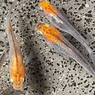 漁火メダカの卵10-20
