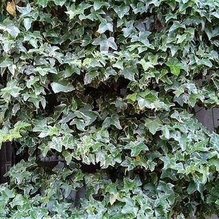 へデラ 「根っ子付き」 観葉植物 グリーンカーテンにも♪