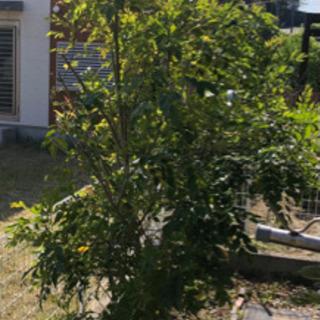 シマトネリコ ※シンボルツリーに