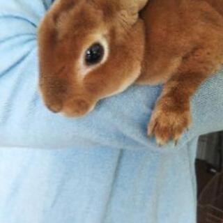 モフモフの男の子ウサギたちの里親探し