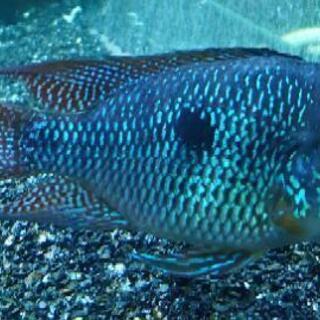 【ネット決済】熱帯魚 ゲオファーガス・ブラジリエンシス