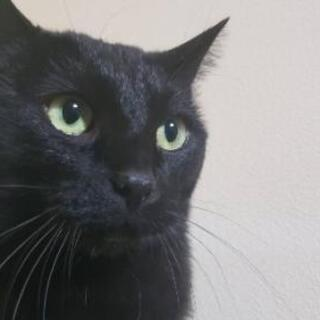 黒猫♂去勢済2歳