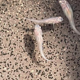 女雛ラメメダカの幼魚7匹 − 奈良県