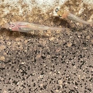 女雛ラメメダカの幼魚7匹 - 売ります・あげます