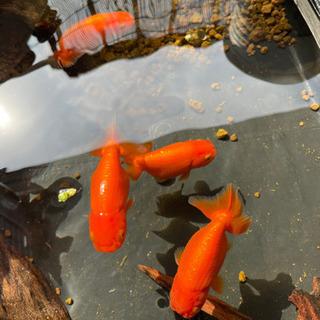 🍄らんちゅう 稚魚 限定1setです - 名古屋市