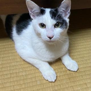 モウモウ柄の可愛いオスの猫ちゃんの里親募集 - 猫