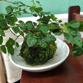 ミニ苔盆栽、苔玉ワークショップ