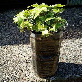 へデラ 1つ「根っ子付き」 観葉植物 グリーンカーテンにも♪