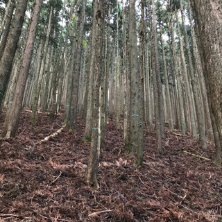 人工林を天然林に戻す活動を手伝ってください