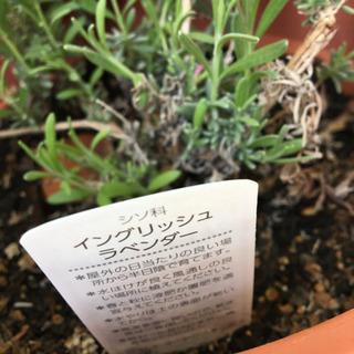 ラベンダー セール中!鉢植え1 - 神戸市