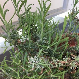 ラベンダー セール中!鉢植え1 − 兵庫県