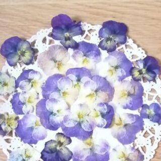 ビオラ押し花 素材