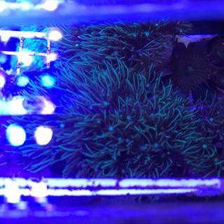 【ネット決済・配送可】スターポリープ サンゴ 海水魚