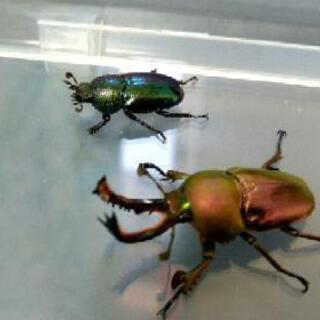 パプキン幼虫飼育セット(レッド♂×ブルーグリーン♀)