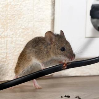 ネズミ、害虫駆除やります