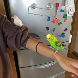 小鳥 文鳥 メス  セキセイインコ オス