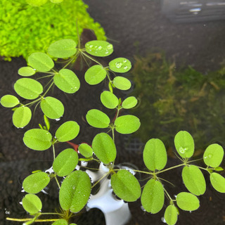サルビニア 水草 浮き草