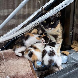 子猫 三毛メス2匹、白黒オス1匹