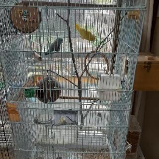 マメルリハペア 黄色ルチノー♀️1歳 ブルー♂2歳