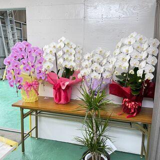 コチョウラン 胡蝶蘭 お花 観葉植物 鉢植え①