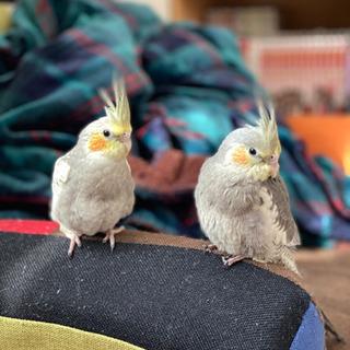 オカメインコ 2羽