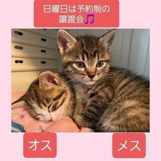 毎週日曜日は福岡市中央区にて予約制の譲渡会🎵子猫兄妹💕