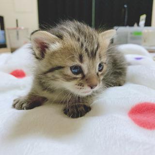 一旦募集停止します。生後1ヶ月❣️3匹の可愛いいニャンズで…