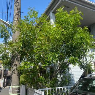 再掲 トネリコの木