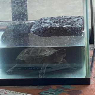 ゼニガメ クサガメ