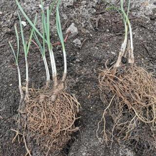 無農薬ニラ苗、多年草