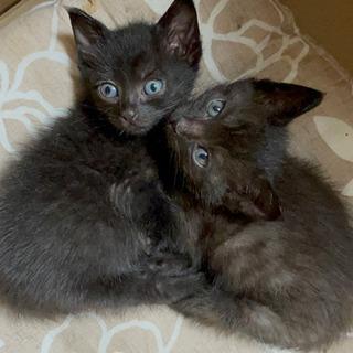 壁の間に閉じ込められていた! 生後1ヶ月黒猫兄弟♂ 炭治郎・すみくん