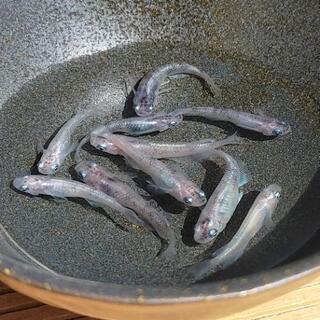 『白カブキメダカ』選別外 成魚サイズ10匹