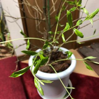 【ネット決済】オリーブの木『コラティーナ』8号苗値下げ交渉可