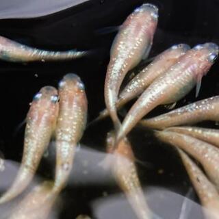 白聖河(ダイヤモンドダスト) 若魚 1ペア