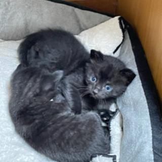 [募集を一時停止しています]子猫3匹里親募集! 3匹とも黒猫です。