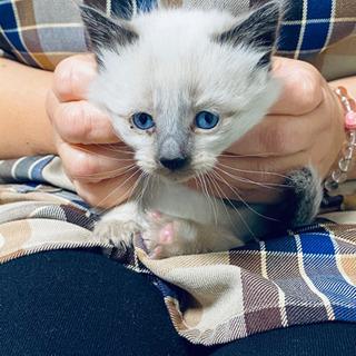 生まれたばかりの子猫 (里親募集)