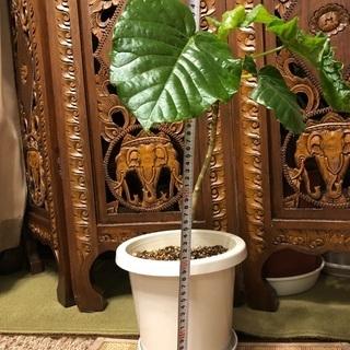 【ネット決済】ウンベラータ観葉植物 50cmくらいです。