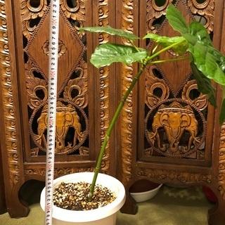 【ネット決済】ウンベラータ観葉植物55cm 幸手市