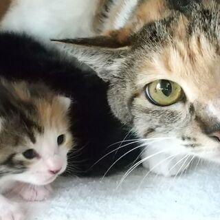 三毛母2才、4/20生2匹子猫と一緒に