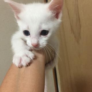 生後1ヶ月白猫男の子募集停止